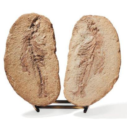 Double fossile de poisson soclé. H_29 cm...