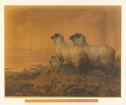 Our flocks n°1 south downs Gravure réhaussée...