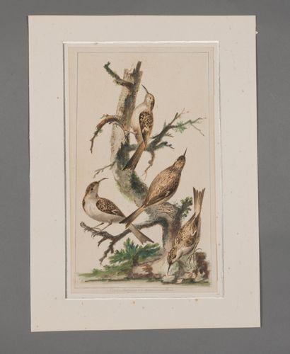 Ornithologie. Dessin du XVIIIe siècle. 31...