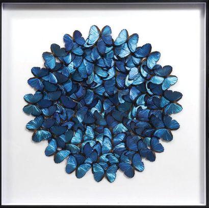 Présentation encadrée de papillons bleus...