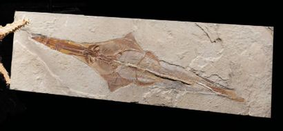 Fossile de poisson-scie Libanopristis sp....