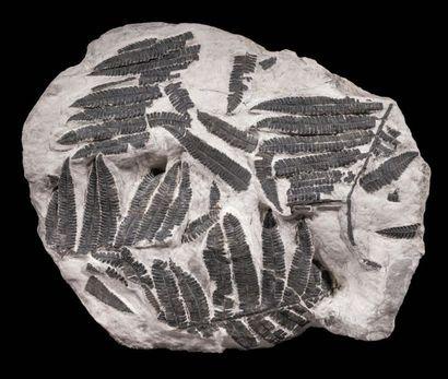 Fossile de fougères Callipteridium sp. Stéphanien,...