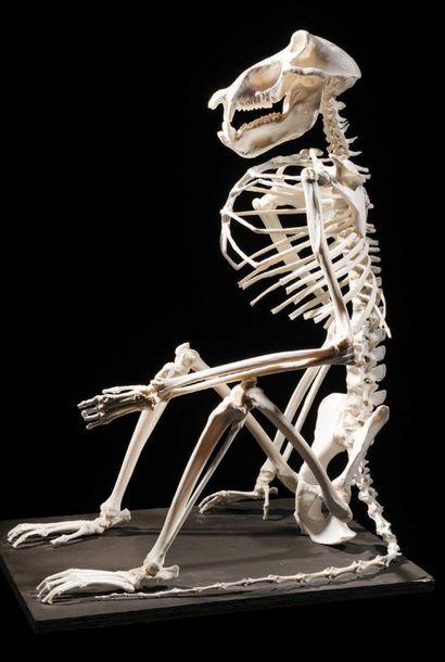 Squelette de babouin chacma Papio ursinus...