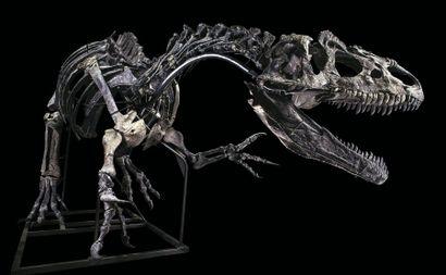 Allosaurus sp. Jurassique Supérieur (150,8 à 145,5 MA) Formation Morrison, Wyoming,...