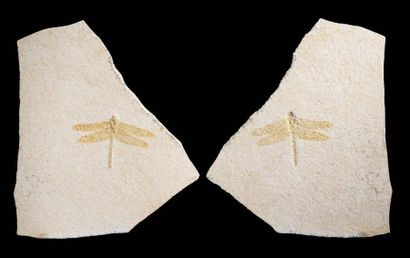 Fossile de libellule (empreinte et contre-empreinte)...