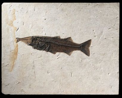 Grand poisson essayant de manger un plus...