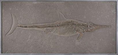 Plaque d'ichthyosaure fossilisé Stenopterygius...