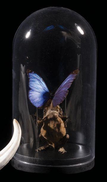 Baiser du crapaud sur un papillon morpho...