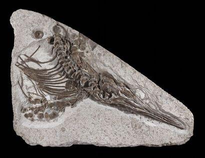 Plaque fossile d'une partie d'ichthyosaure...