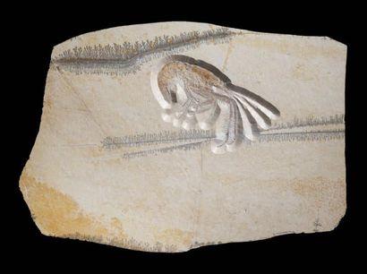 Fossile de crevette Aeger tipularius Titonien,...