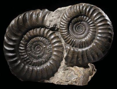 Bloc d'ammonites Coroniceras (Arietites)...