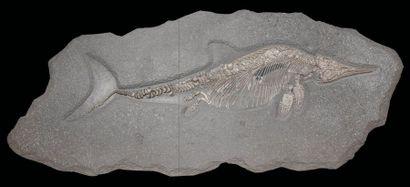Exceptionnel ichthyosaure Stenopterygius...