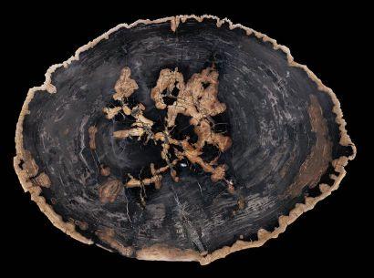 Tranche de bois fossilisé Magnolia sp. Oligocène...