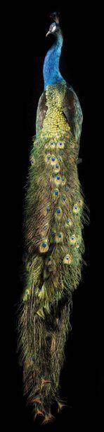 Magnifique Paon géant, mutation des ailes...