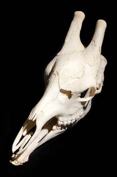 Crâne de girafe Giraffa camelopardalis Afrique...