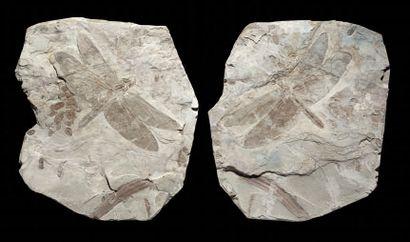 Fossile de libellule Sinaeschnidia cancellosa...