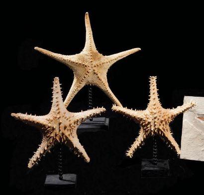 Lot de 3 étoiles de mer sur socle Indonésie...