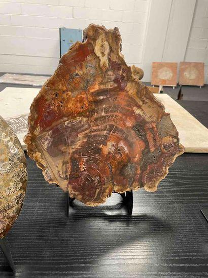 Bois pétrifié, Araucariaceae Triassique (environ -225 millions d'années) Madagascar...
