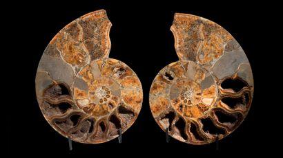 COUPE D'AMMONITE GÉANTE Pachydiscus sp. Campanien,...