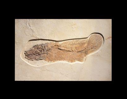 POISSON FOSSILE AMIA Éocène (56-34 Ma) Formation...