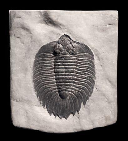 TRILOBITE Arctinurus boltoni Silurien moyen...