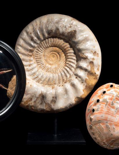 SUPERBE AMMONITE BLANCHE NACRÉE Kranosphinctes Oxfordien, Jurassique supérieur (163-157...