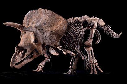Big John Triceratops horridus Formation...