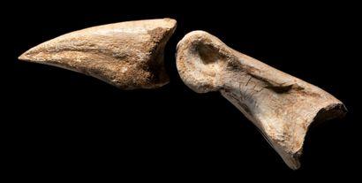 GRIFFE DE DINOSAURE CARNIVORE Carcharodontosaurus...