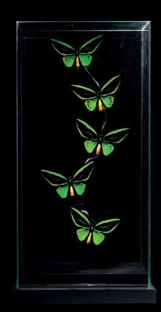 COMPOSITION DE PAPILLONS Ornithoptera priamus...