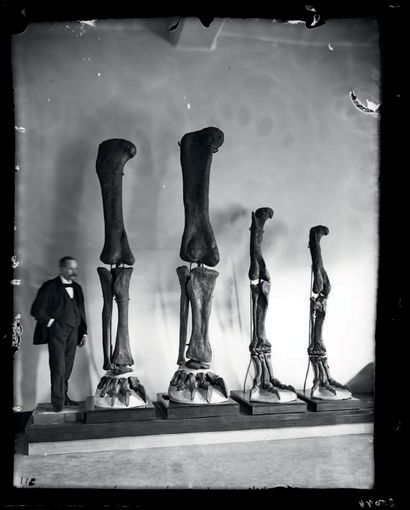 IMPOSANTE PATTE DE SAUROPODE Diplodocidae Jurassique supérieur (150.8 à 145.5 Ma)...
