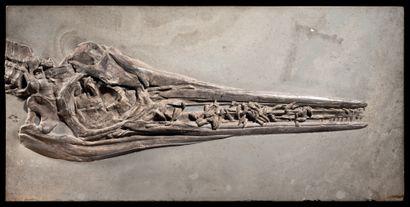 CRÂNE D'ICHTYOSAURE Stenopterygius megalocephalus...