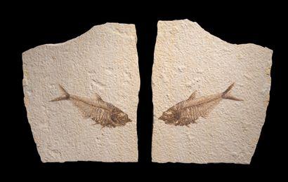 POISSON FOSSILE Diplomylus dentatus Éocène...