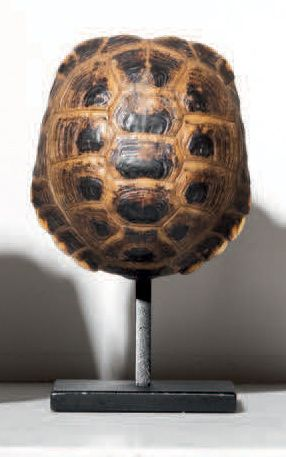 CARAPACE DE TORTUE Agrionemys horsfieldii...