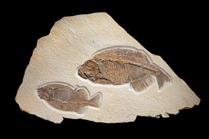 POISSON PHAERODUS Éocène (56-34 Ma) Formation...