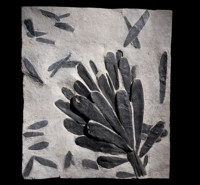 CORDAITES LINGULATUS Carbonifère Montceau-les-Mines,...