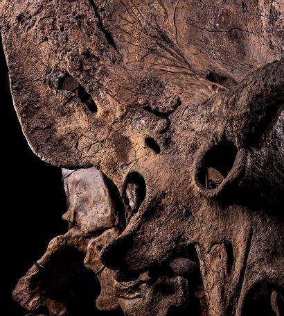 Big John Triceratops horridus Formation de Hell Creek, section supérieure Maastrichtien,...