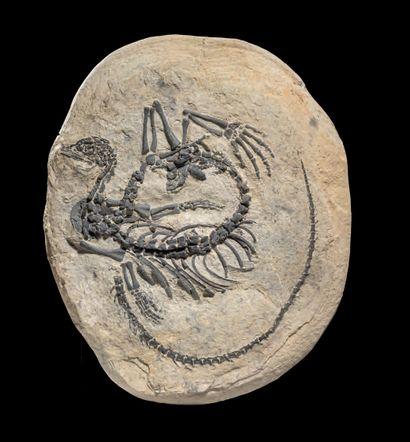 INTÉRESSANT REPTILE AQUATIQUE FOSSILE Claudiosaurus...