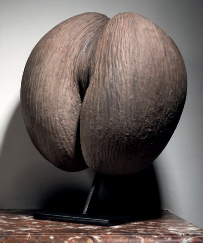 COCO DE MER Lodoicea maldivica H. 29 cm -...