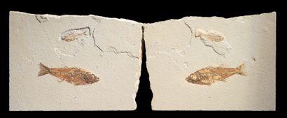PAIRE DE POISSONS FOSSILES Mioplosus sp et...