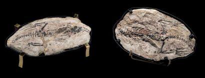Série de tests d'oursins et Nautilus, Echinidae...