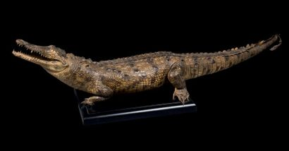 Taxidermie de crocodile du Nil, Crocodylus...