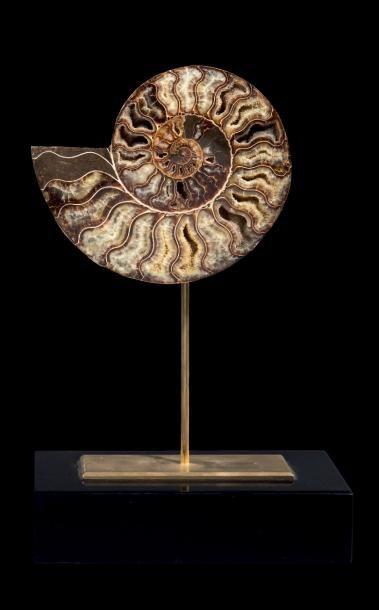 Section d'ammonite, Cleoniceras besairiei...