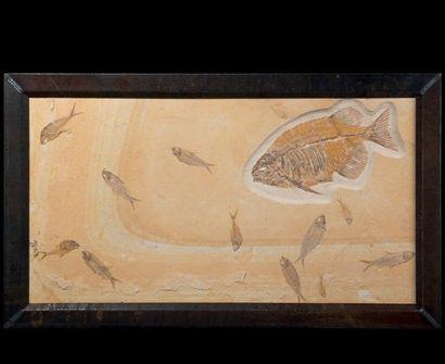 Importante plaque fossile, Knightia Diplomystus...