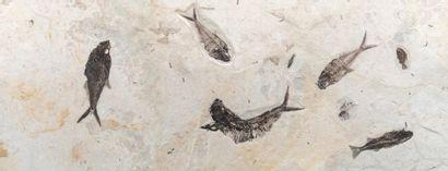Plaque de poissons fossiles, Diplomystus...