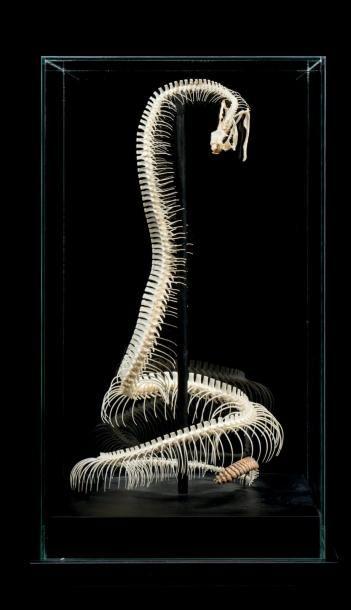 Squelette de Crotale Diamantin, Crotalus...