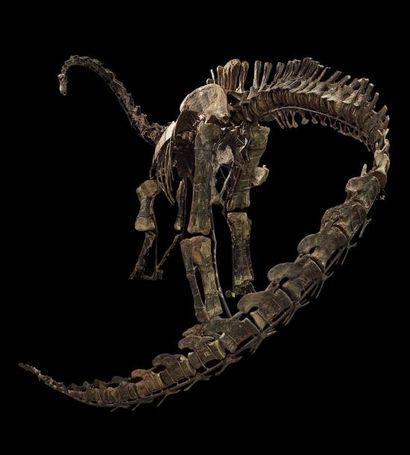 Kaatedokus Siberi: Diplodocus Epoque: Morrison-Formation, Jurassique Supérieur (161-145...