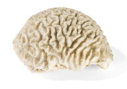 - Bloc de corail, cerveau de Neptune Diploria...