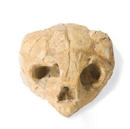 - Crane de tortue marine fossile Espèce indéterminée....