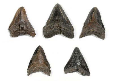 Lot de quatre dents de requin géant carcharodon...
