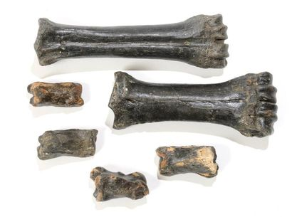 Ensemble de six os fossilisés de cheval -...